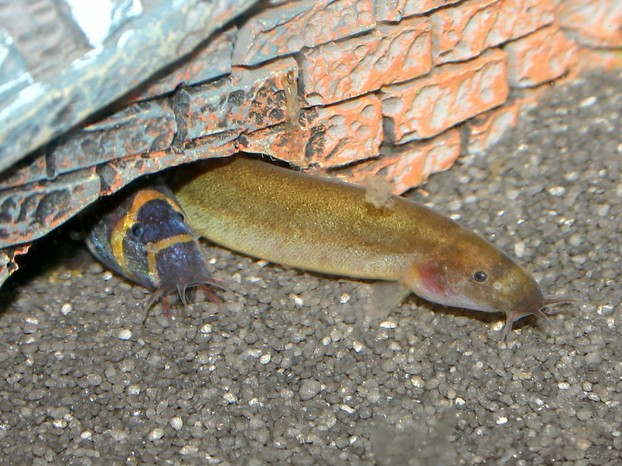 Black and Stripy Coolie Loach