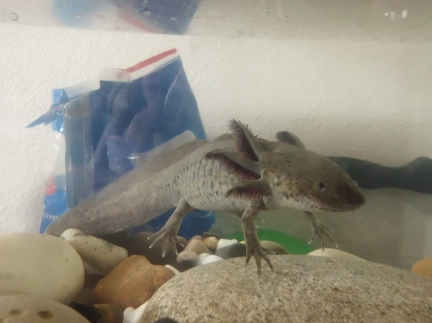 Our Exotic Axolotl (underwater Salemandar That Doesn't Evolve To Land Due To A Thiyroid Problem)