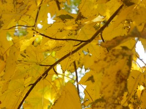 Falls Yellow Leaves: