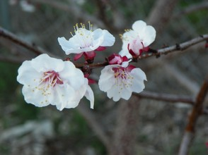 Fragile Peach Blossoms