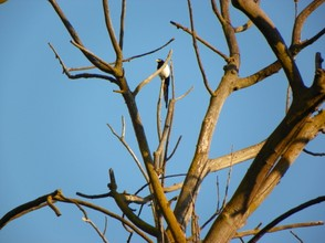Magpie and Silent Tree: