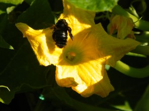 Carpenter Bee and Squash Blossom: