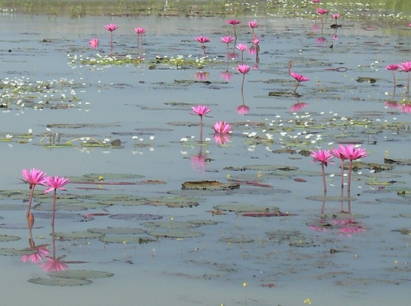 Lotus Flowers at Bueng Boraphet
