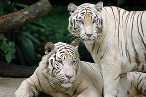 White tigers in Singapore