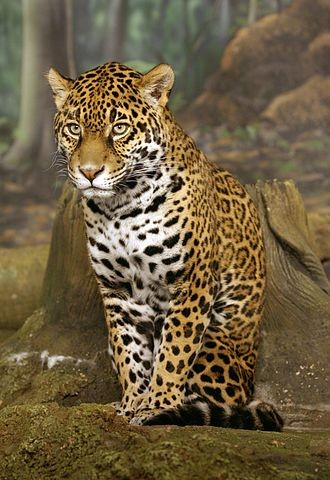 Jaguar, Milwaukee Zoo