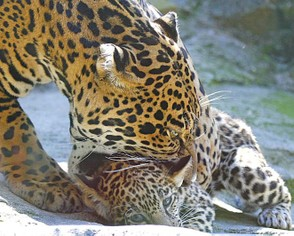 Jaguar picking up a cub