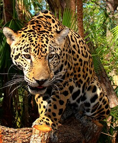 Jaguar at the Belize Zoo
