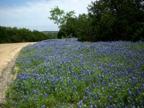 Bluebonnets everywhere!