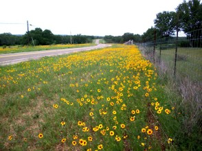 Yellow carpet of TX wildflowers