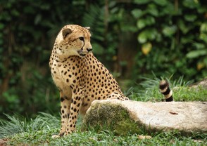 Cheetah in a Singapore Zoo