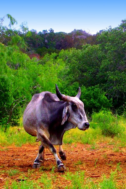 Only in the Texas Hill Country - Zebu Two-Step