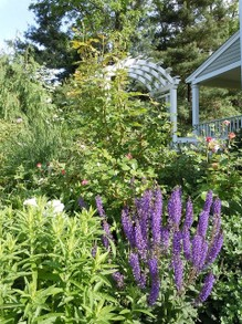 Cottage garden w/ salvia