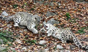 Snow leopard cubs playing