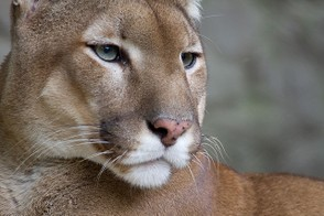 Picture of a cougar in the Belgrade Zoo, Serbia
