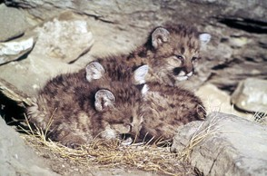 Adorable mountain lion kittens!