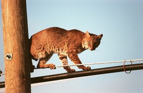 Bobcats can sometimes be found in cities.