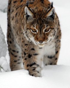 Eurasian Lynx in the Bavarian Forest National Park, Germany