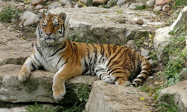 Siberian Tiger Facts for Kids