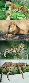 The Panthera genus