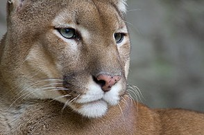 Puma/Cougar/Mountain Lion