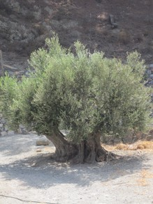 Old olive tree, Karpathos