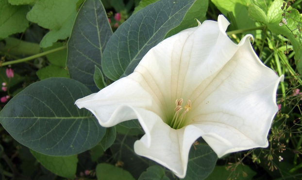 Datura: source of scopolamine (devil's breath)