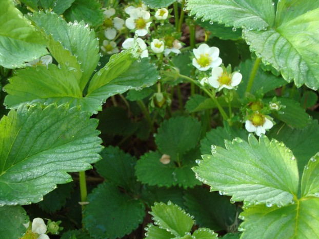 How to create beautiful yards and landscapes on a budget the images of spring - Plant strawberries spring ...