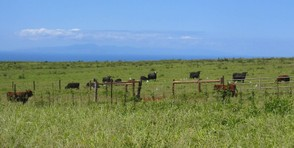 Grass fed cattle on Molokai