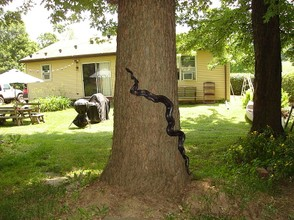 Black Rat Snakes Mating