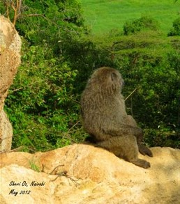 Male Baboon Surveying the Valley