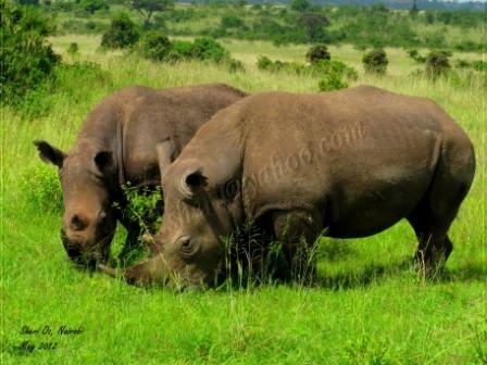 Endangered Black Rhino Population Grows Here