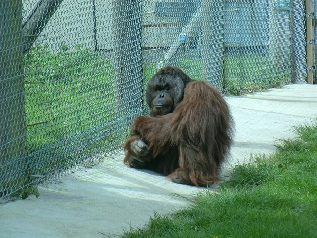 Image: Gordon the Orang-utan at Monkey World