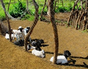 Small Goats Cannot Got Out to Pasture
