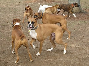 Boxers at the dog park