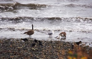 Canada Geese (and friends) in the Surf