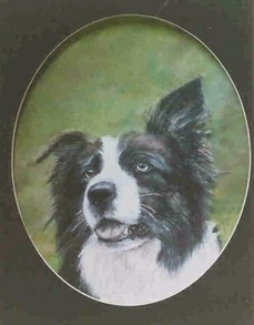 Gael - Border collie - pastel