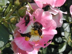 Japanese Beetles on Rose
