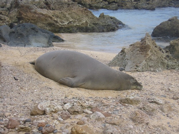 Hawaiian Monk Seal, critically endangered