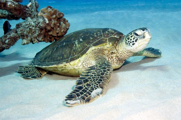 Hawaiian Green Sea Turtle, endangered