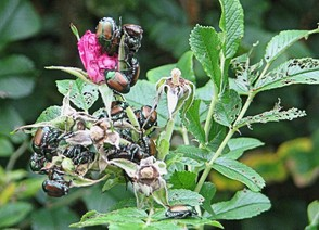 Japanese Beetles Devouring Pasture Rose