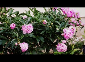 Pretty in Pink Peonies