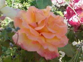 peach tea rose