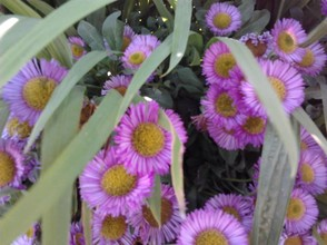 purple daisy (perennials)
