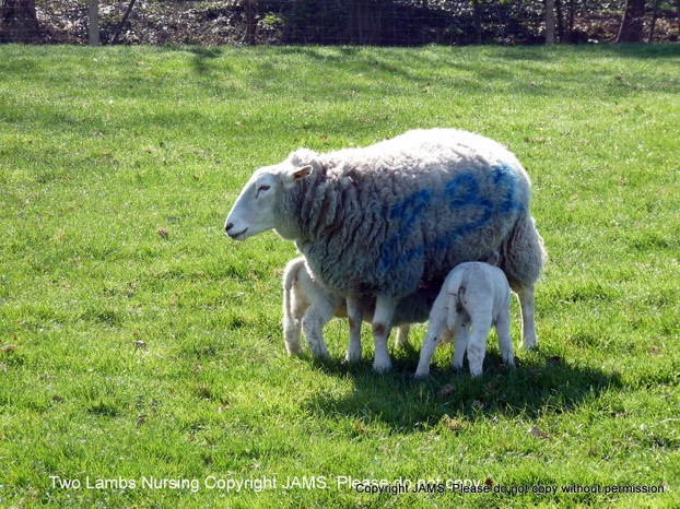 Two Lambs Nursing