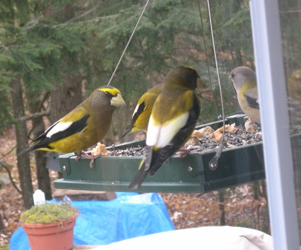 Grosbeaks at My Hanging Tray Feeder