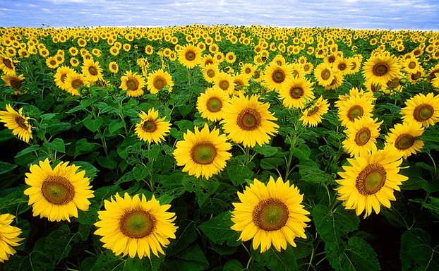 Image:  Sunflowers
