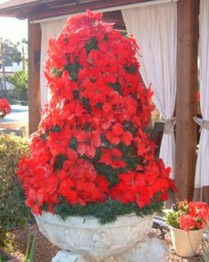 Christmas Poinsettia display in Los Gigantes
