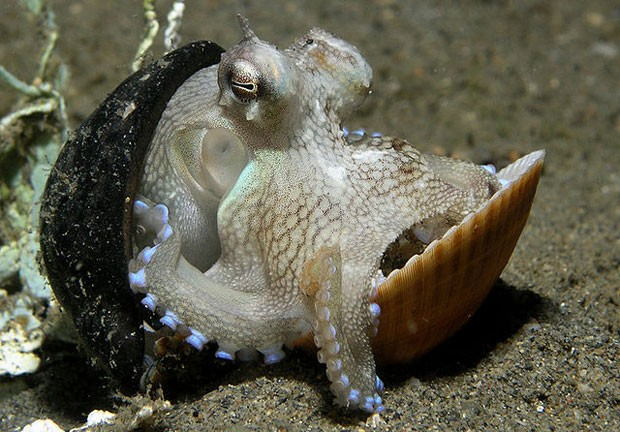 Octopus marginatus