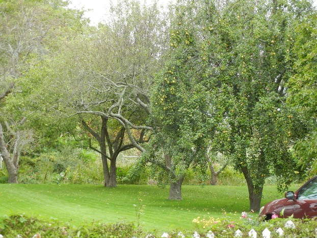 Mature Orchard of Fruit Trees