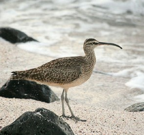 Whimbrel in Public Domain